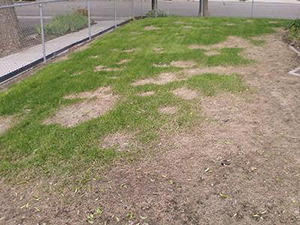 improper irrigation leads to dry patches in lawn